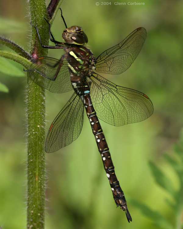 Aeshna umbrosa (Shadow Darner), female, at Chester, Hampden County, Massachusetts.