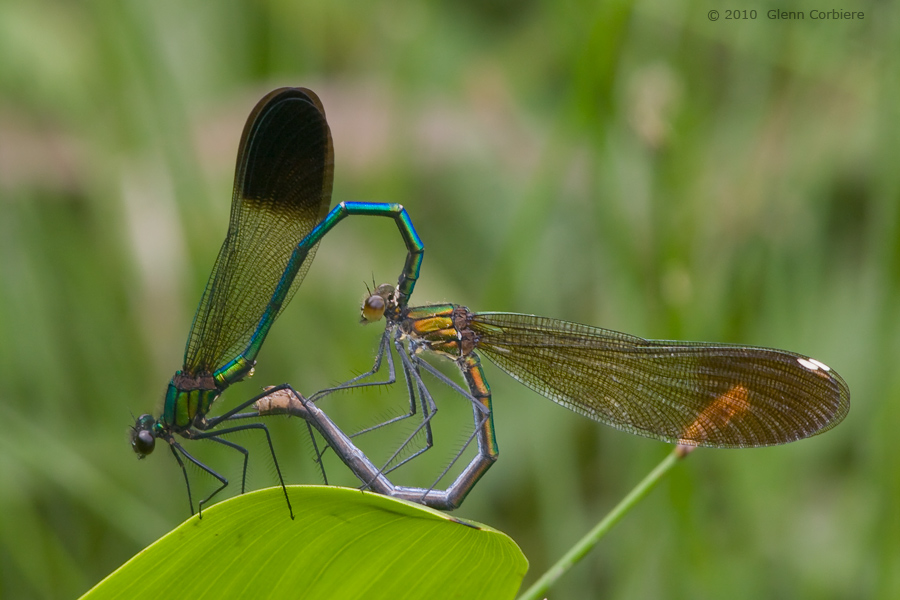 Calopteryx aequabilis (River Jewelwing), pair