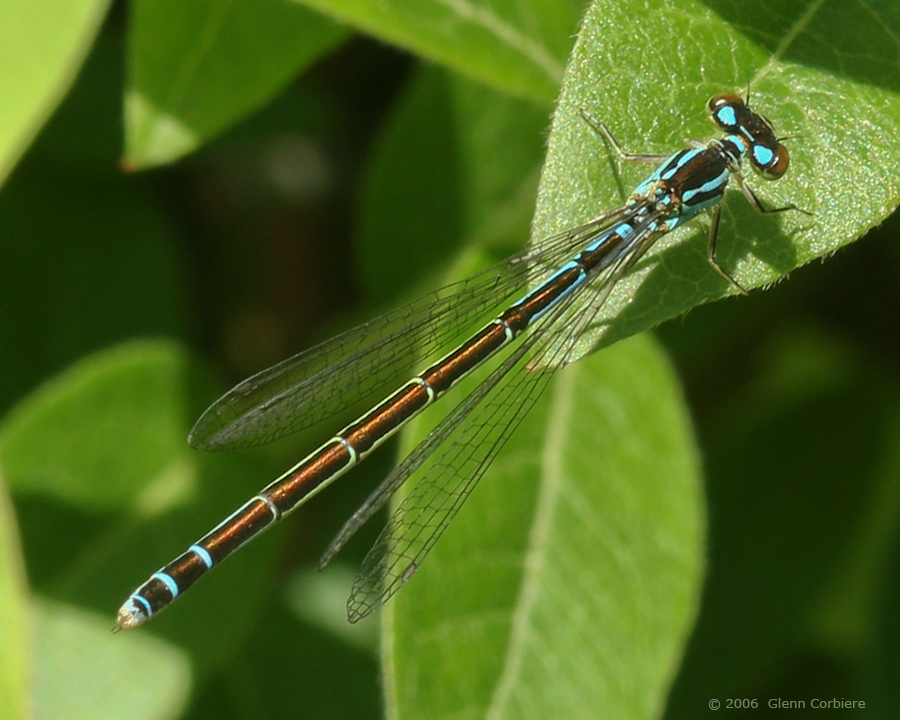 Coenagrion resolutum (Taiga bluet), female