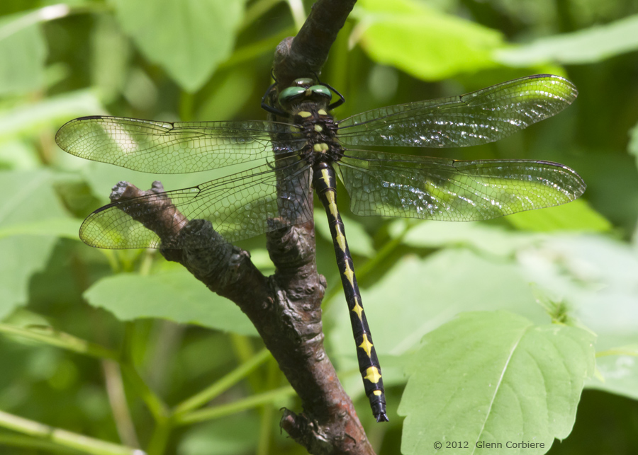 Cordulegaster Obliqua (Arrowhead Spiketail), male