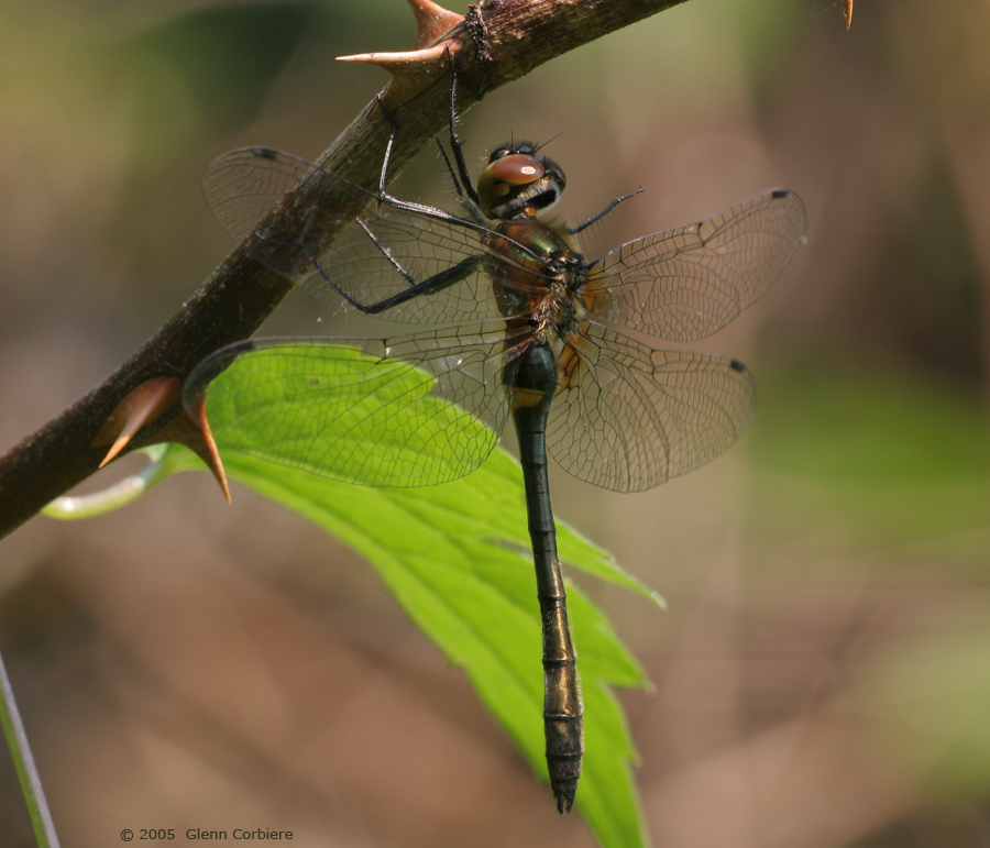 Dorocordulia libera (Racket-tailed Emerald), immature female