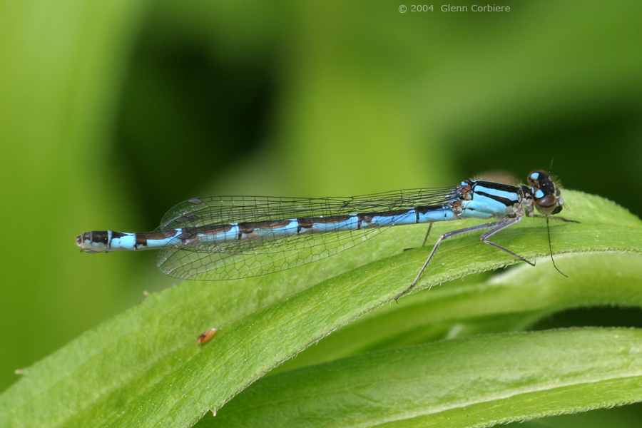 Enallagma annexum (Northern Bluet), female
