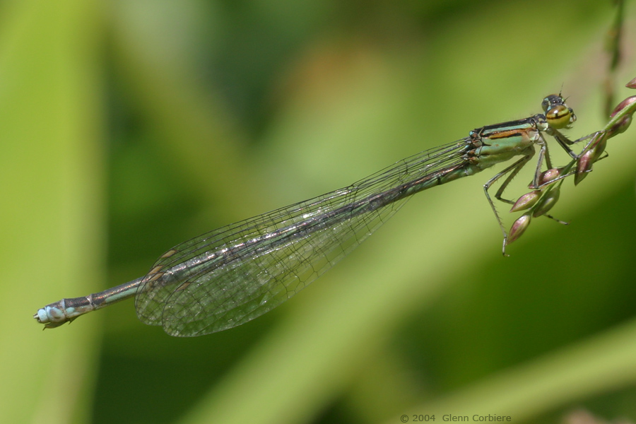 Enallagma exsulans (Stream Bluet), female