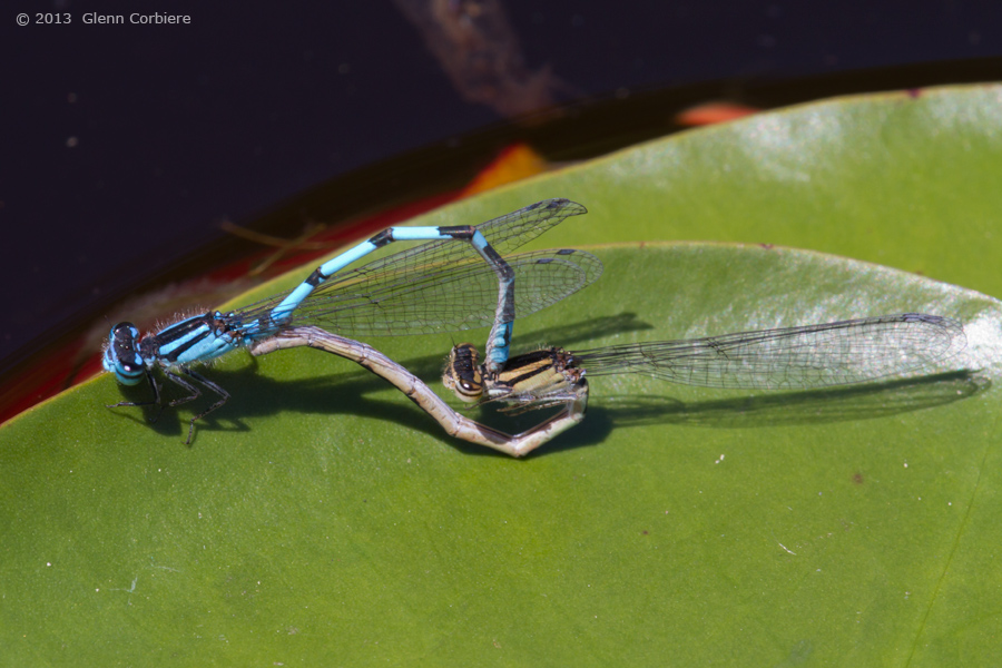 Enallagma laterale (New England Bluet), mating pair