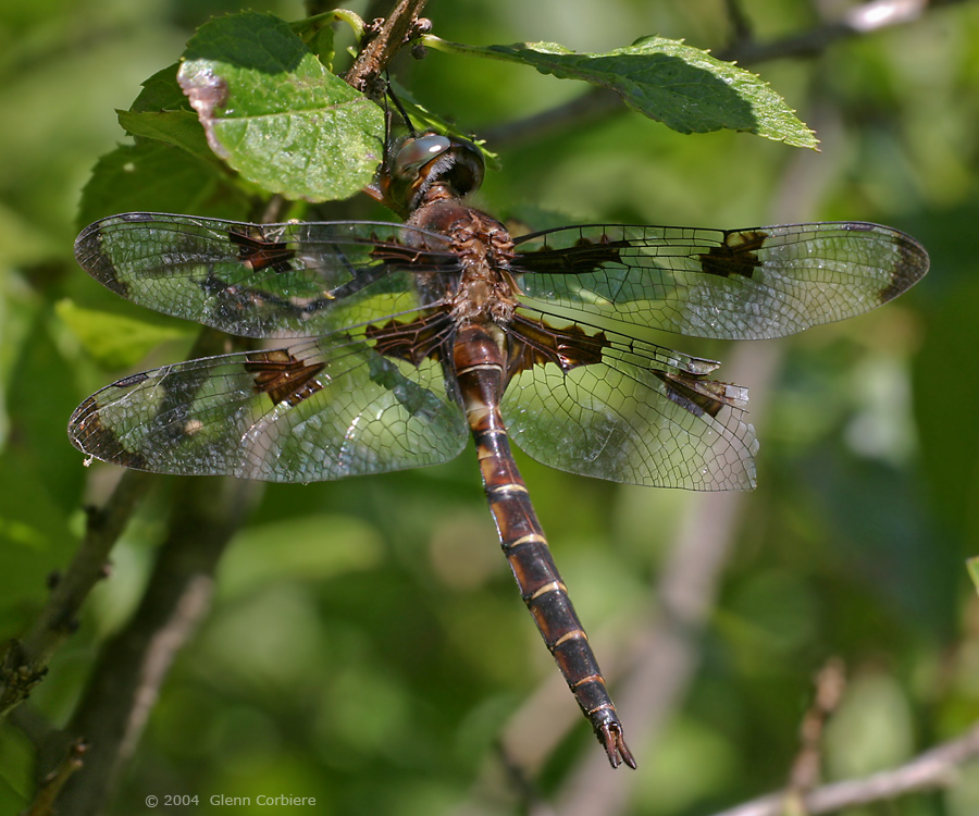 Epitheca princeps (Prince Baskettail), male