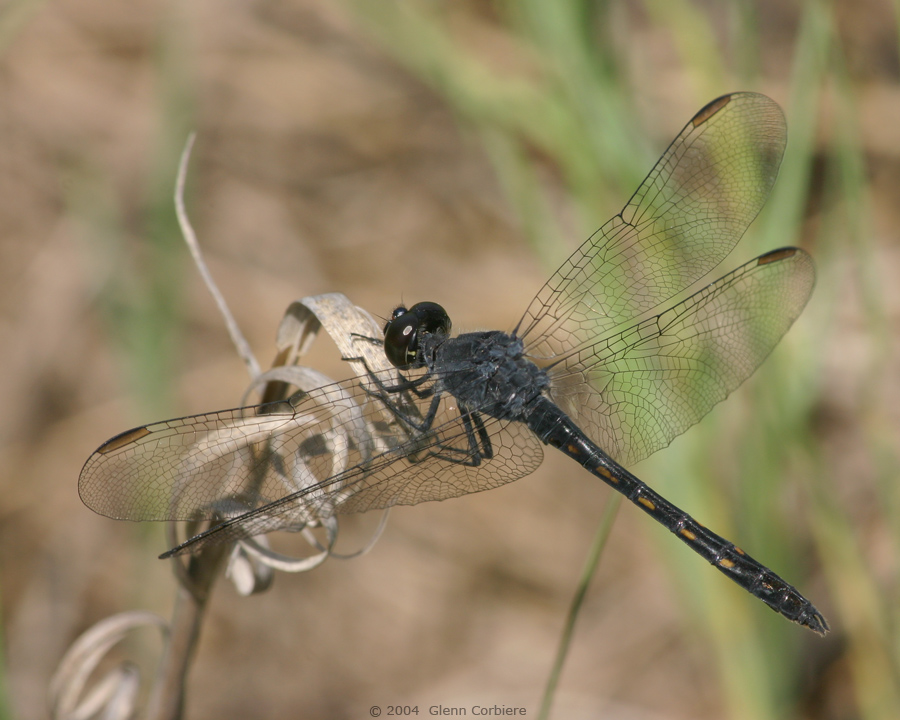 Erythrodiplax berenice (Seaside Dragonlet), male