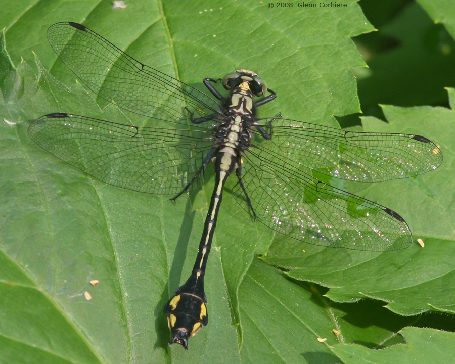 Gomphus ventricosus (Skillet Clubtail), male