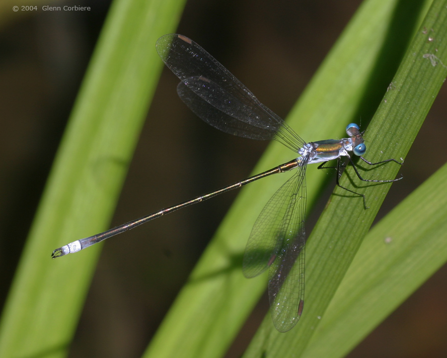 Lestes vigilax (Swamp Spreadwing), male