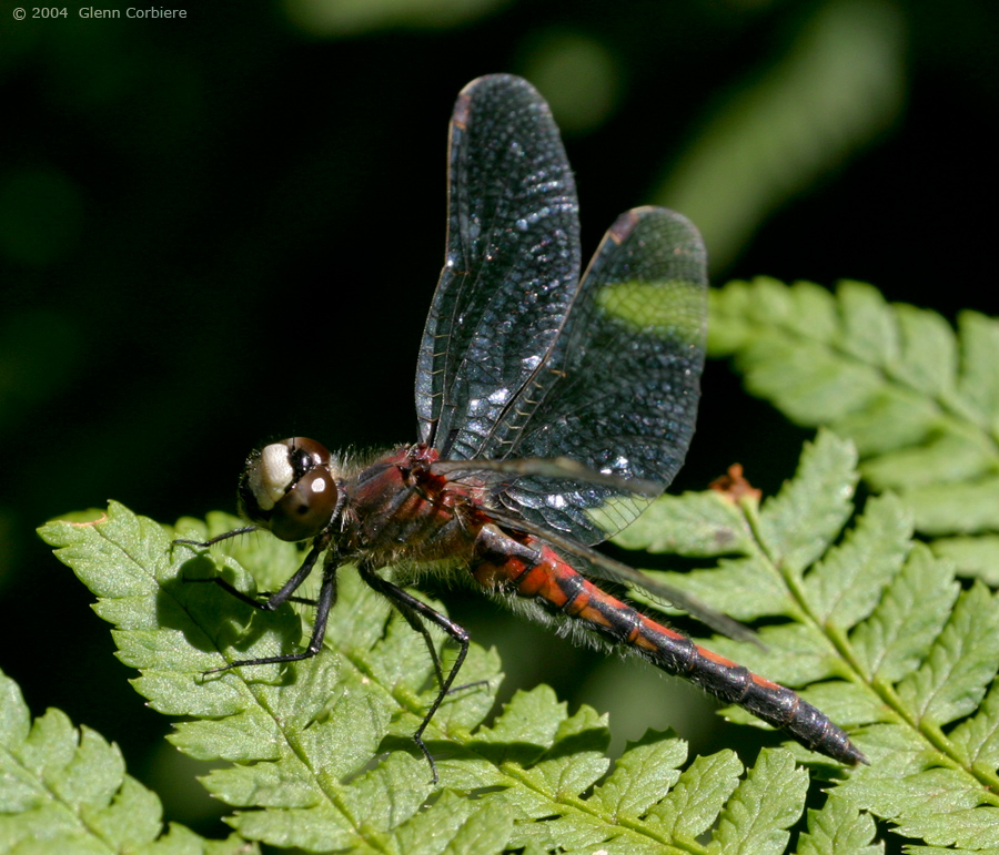 Leucorrhinia hudsonica (Hudsonian Whiteface), female - red form