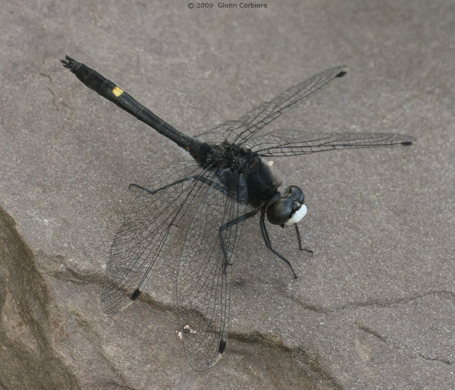 Leucorrhinia intacta (Dot-tailed Whiteface), male