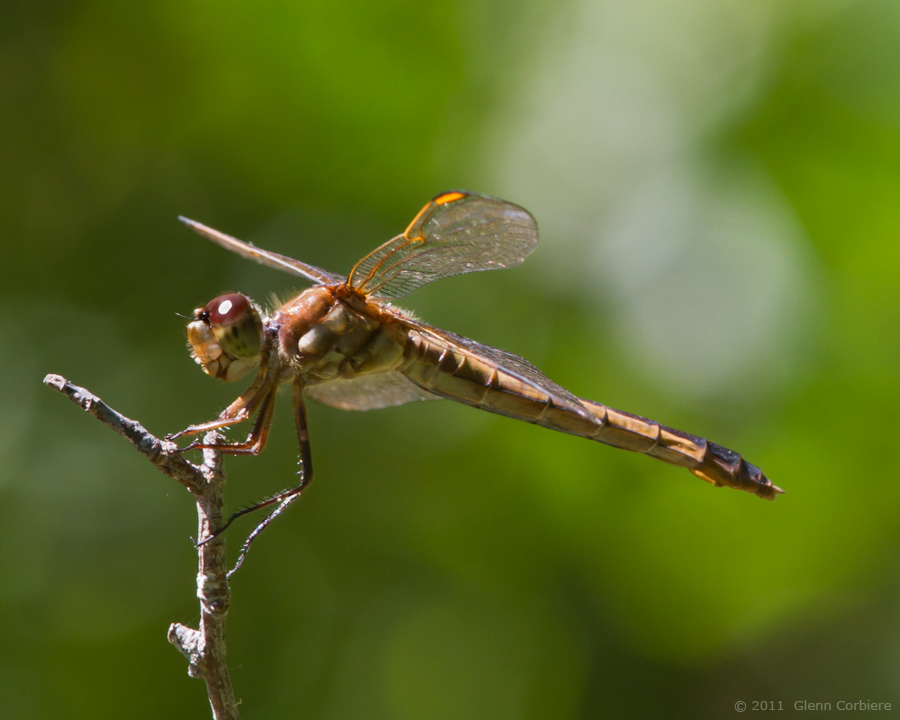 Libellula auripennis (Golden-winged Skimmer), female