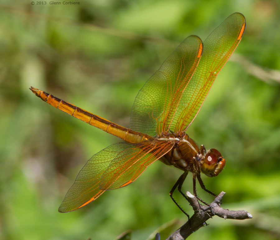 Libellula auripennis (Golden-winged Skimmer), male