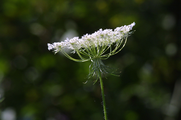 Queen Anne's Lace - 3
