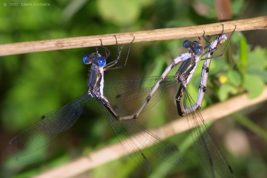 Lestes congener (Spotted Spreadwing), pair