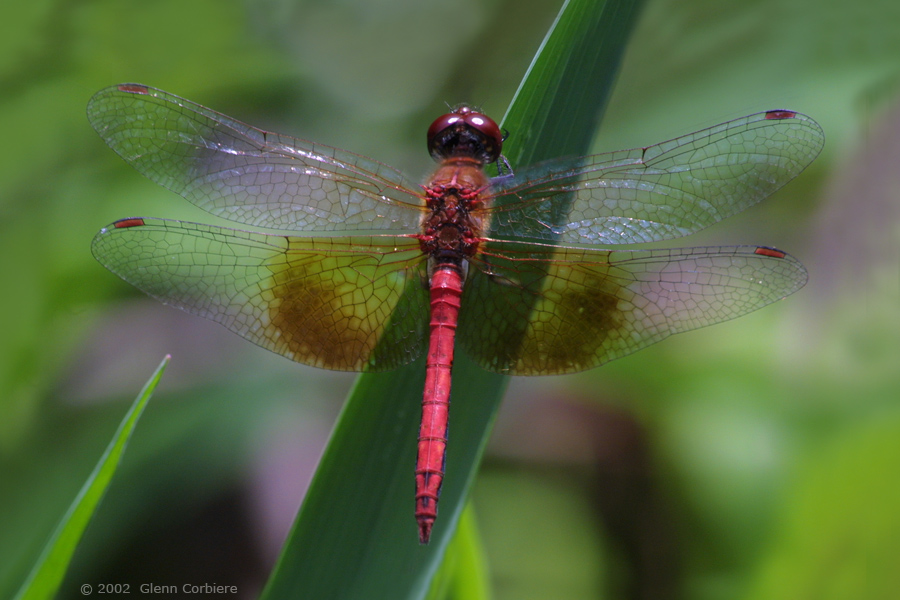 Sympetrum semicinctum (Band-winged Meadowhawk), male