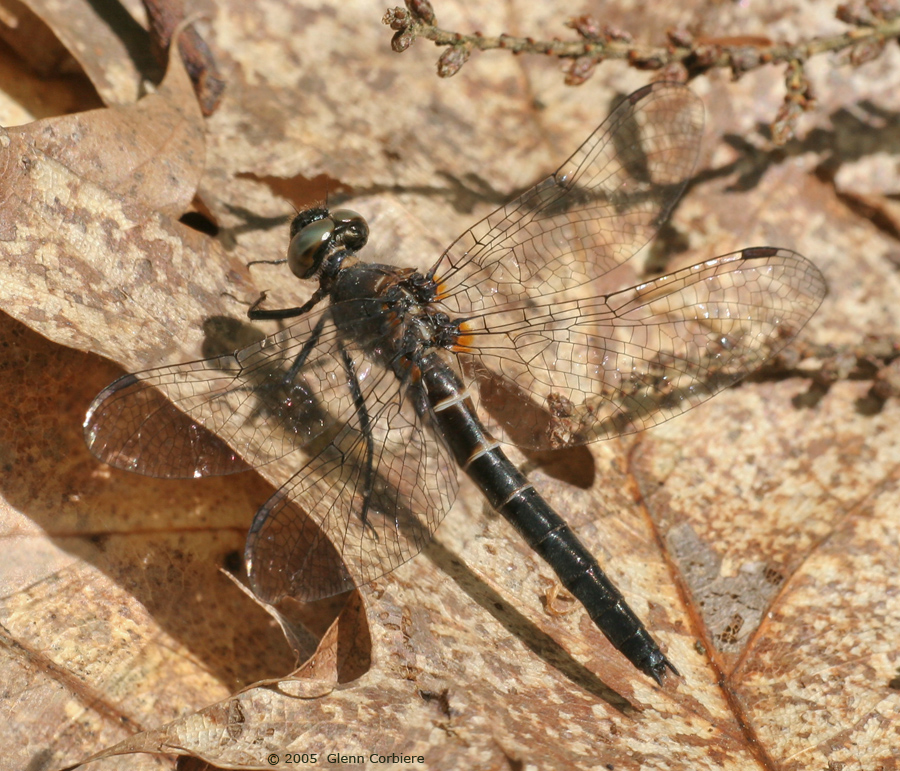 Williamsonia fletcheri (Ebony Boghaunter), female